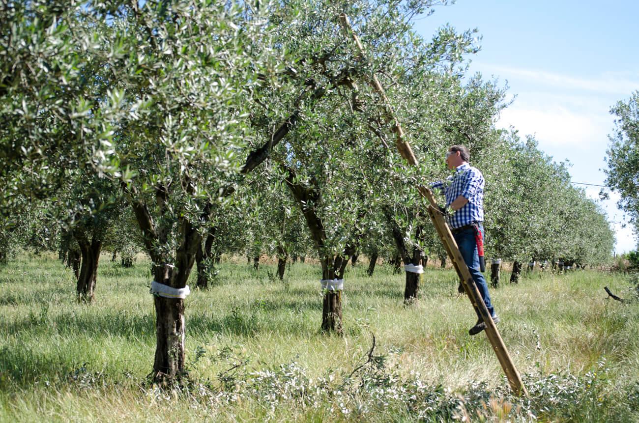 Olio EVO. Olio extravergine di oliva peranzana